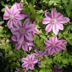 clematite en fleurs